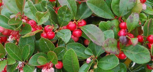 goltheria-gaultheria-procumbens-idiotites