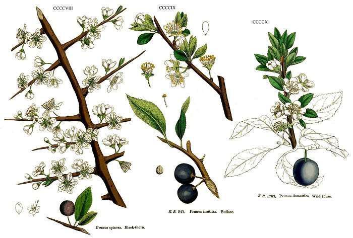 i-tsapournia-idiotites-kai-hrisis-Blackthorn