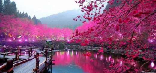 Λίμνη με κερασιές Σακούρα, Ιαπωνία