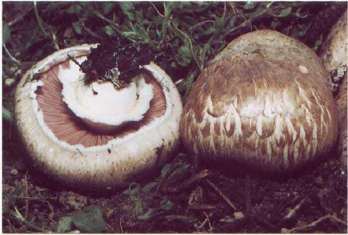 Agaricus bisporus-manitari