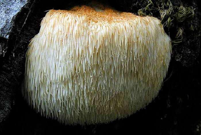 Hericium erinaceum-manitari
