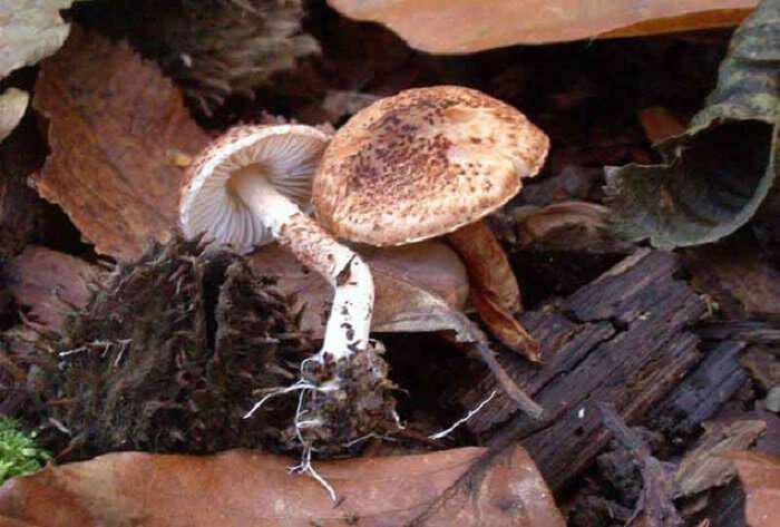 Lepiota castanea-manitari-d