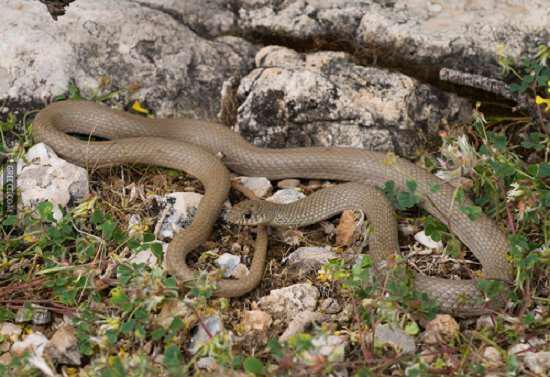 Ασινόφιδο (Asinella austriaca)