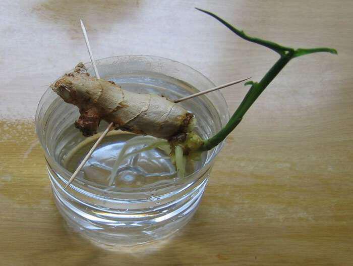 ginger-pos-na-to-kalliergisete-monoi-sas