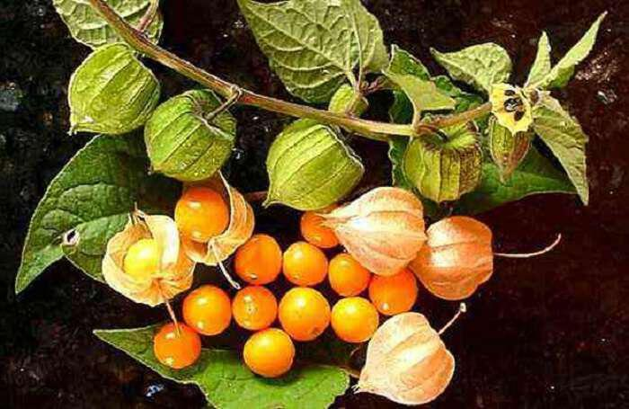 golden-berries-ta-hrysa-moura-o-hamenos-thisavros-ton-inkas