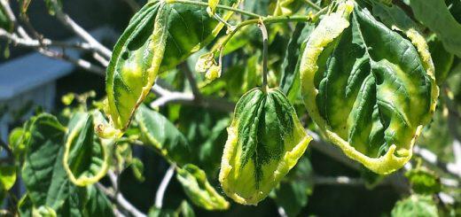 Monsanto-zizanioktono-dicamba-skotonei-ola-ta-fyta-ektos-ton-metallagmemon
