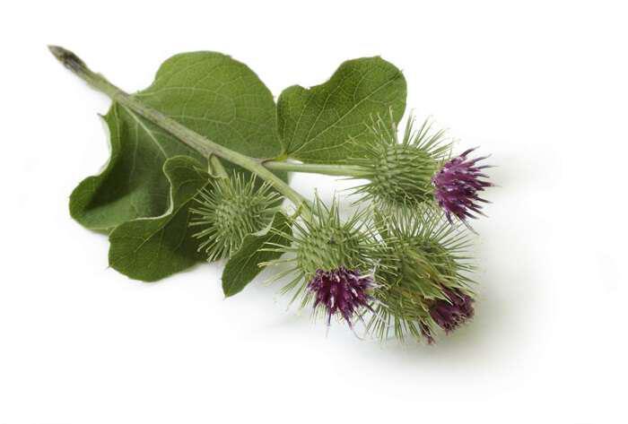Κολλιτσίδα ένα ισχυρότατο αντικαρκινικό, διουρητικό και αποτοξινωτικό βότανο