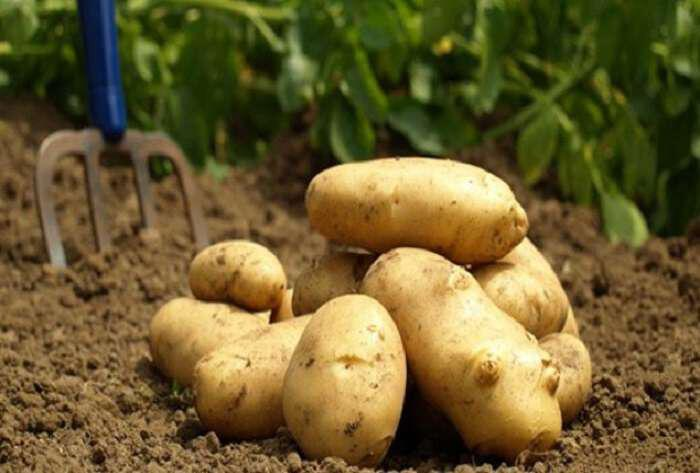 φρέσκες πατάτες