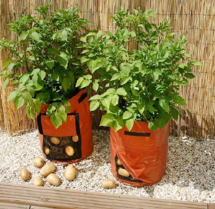 Ξεχάστε το σκάψιμο: Εύκολη καλλιέργεια πατάτας σε παλέτα - σάκος