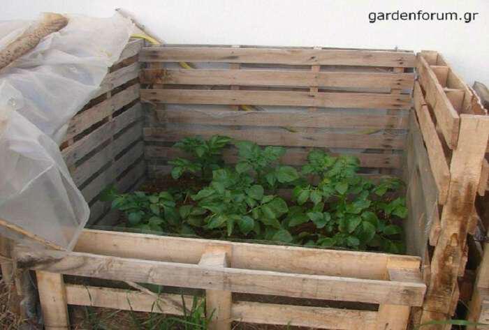 Ξεχάστε το σκάψιμο: Εύκολη καλλιέργεια πατάτας σε παλέτα