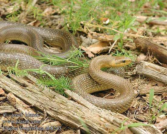 Φίδι του Ασκληπιού (Elaphe longissima)