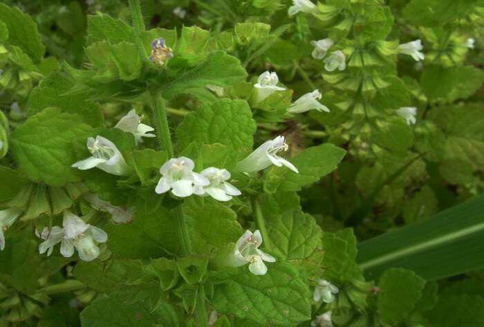 Μελισσόχορτο: Ένα ταπεινό βότανο με πλούσιες ιδιότητες - Προϊόντα ...