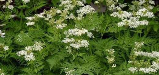 glykaniso-pimpinella-anisum-aroma-ygeias