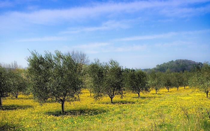 Εμείς ξεριζώνουμε και η Αίγυπτος φυτεύει 100 εκατομμύρια ελαιόδεντρα σε μια πενταετία