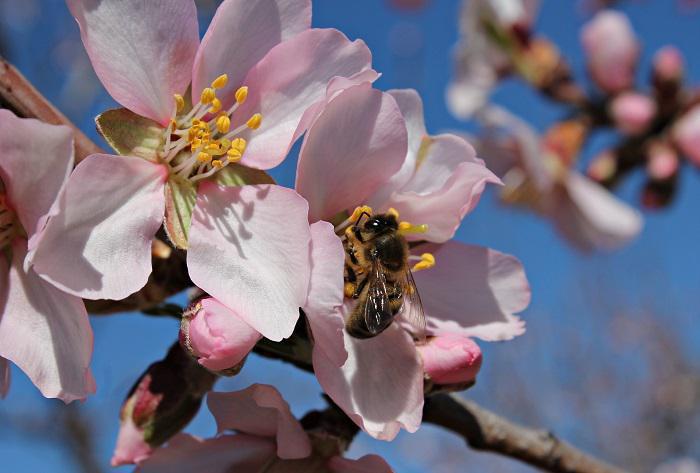 Οι Vegan, οι μέλισσες και το γάλα αμυγδάλου