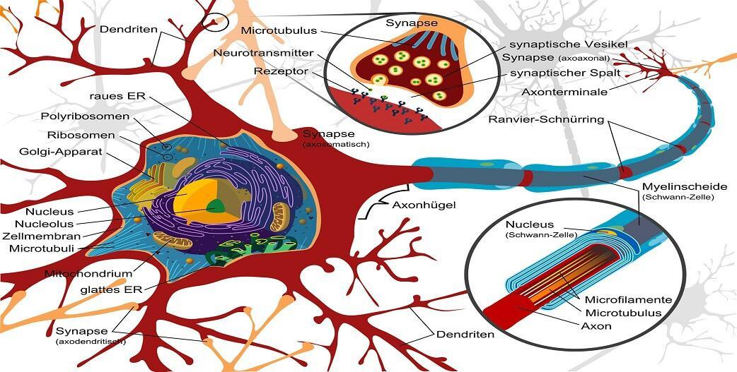 Νευροπλαστικότητα: Τι είναι, οφέλη στον εγκέφαλο-Διέγερση με άσκηση